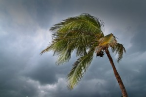 hurricane tropical storm coconut palm tree leaves cloudy gray sky